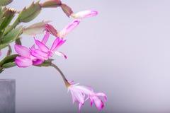 在白色背景隔绝的罐的开花的桃红色圣诞节仙人掌石生仙人掌 免版税库存照片