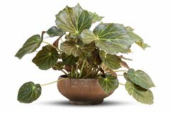 在白色背景隔绝的罐的秋海棠植物 库存图片