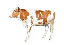在白色背景隔绝的美丽的幼小母牛 全长滑稽的红色和白色被察觉的母牛 库存照片