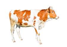 在白色背景隔绝的美丽的幼小母牛 滑稽红色和白色察觉了被隔绝的母牛全长 免版税库存图片