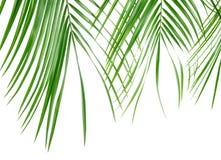 在白色背景隔绝的美丽的棕榈叶,特写镜头 免版税图库摄影
