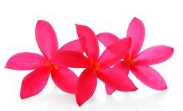 在白色背景隔绝的美丽的红色兰花 库存图片