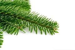 在白色背景隔绝的自然绿色云杉的枝杈 库存照片