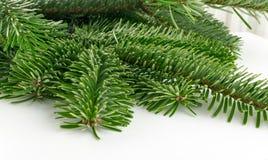 在白色背景隔绝的自然绿色云杉的枝杈 免版税库存照片