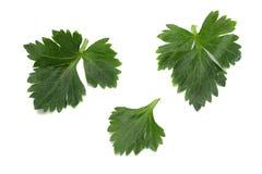 在白色背景隔绝的芹菜叶子 芹菜查出的白色 健康的食物 库存图片