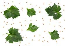 在白色背景隔绝的芹菜叶子 芹菜查出的白色 健康的食物 免版税库存图片