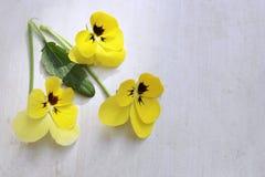 在白色背景隔绝的蝴蝶花花 开花与一个黑暗的中间特写镜头的蝴蝶花明亮的黄色颜色 可食的花 概念na 库存图片