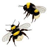 在白色背景隔绝的设置两只土蜂用不同的角度 r 库存例证