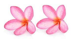 在白色背景隔绝的赤素馨花花 库存图片