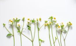 在白色背景隔绝的野花装饰 图库摄影