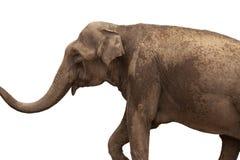 在白色背景隔绝的非洲大象 库存照片