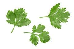 在白色背景隔绝的香菜或香菜叶子 顶视图 平的位置样式 库存照片