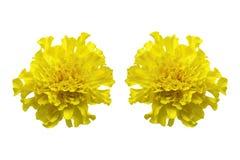 在白色背景隔绝的黄色万寿菊 库存照片