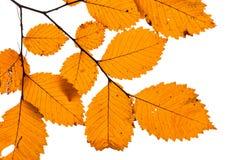 在白色背景隔绝的黄色叶子 免版税库存照片
