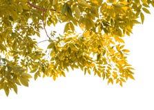 在白色背景隔绝的黄色叶子 免版税库存图片