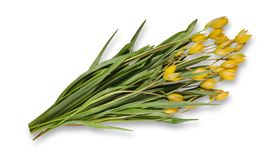 在白色背景隔绝的黄色森林郁金香花束  库存照片