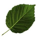 在白色背景隔绝的黑莓一片绿色叶子,叶子的底下边 免版税图库摄影