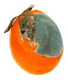 在白色背景隔绝的一个发霉的桔子 免版税库存照片