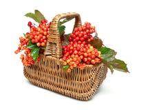 在白色背景隔绝的一个柳条筐的荚莲属的植物莓果 免版税库存图片