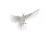 在白色背景隔绝的一只自由飞行白色鸠 免版税库存照片