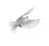在白色背景隔绝的一只自由飞行白色鸠 图库摄影