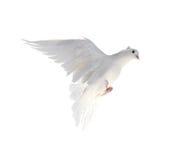 在白色背景隔绝的一只自由飞行白色鸠 免版税库存图片