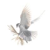 在白色背景隔绝的一只自由飞行白色鸠 库存照片