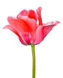 在白色背景隔绝的一朵桃红色郁金香花 免版税库存照片