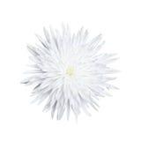 在白色背景隔绝的一朵菊花花 库存图片