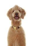 纯净的品种长卷毛狗 免版税库存照片