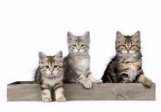 在白色背景隔绝的三只西伯利亚森林猫/小猫坐在一个木盘子 库存图片