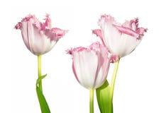 在白色背景隔绝的三朵桃红色郁金香花 免版税图库摄影