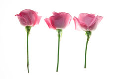 在白色背景隔绝的三朵玫瑰 免版税库存图片
