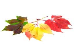 在白色背景隔绝的不同的季节三片叶子 库存图片