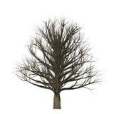 在白色背景隔绝的不生叶的树, 3D例证 库存图片
