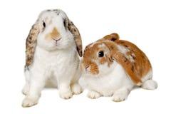 在白色背景隔绝的两只兔子 免版税图库摄影