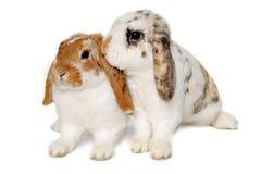 在白色背景隔绝的两只兔子 免版税库存图片