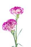 在白色背景隔绝的两朵康乃馨花设计 免版税库存照片