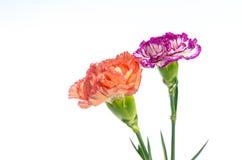 在白色背景隔绝的两朵康乃馨花设计 免版税库存图片