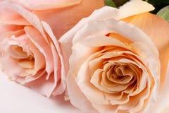 在白色背景隔绝的两朵新鲜的米黄玫瑰 免版税图库摄影