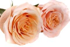 在白色背景隔绝的两朵新鲜的米黄玫瑰 免版税库存照片