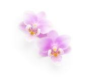 在白色背景隔绝的两朵浅粉红色的兰花 从上面查看 图库摄影