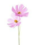 在白色背景隔绝的两朵浅粉红色的波斯菊花 背景波斯菊庭院温泉 库存图片