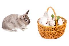 二只逗人喜爱的复活节兔子兔子Portait  免版税库存图片