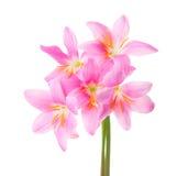 在白色背景隔绝的五个桃红色百合 玫瑰色雨百合 免版税库存图片