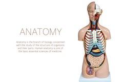 在白色背景隔绝的人的解剖学时装模特 免版税图库摄影