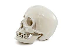 在白色背景隔绝的人的头骨 免版税库存图片