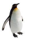 在白色背景隔绝的企鹅步行 库存照片