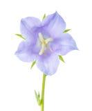 在白色背景隔绝的会开蓝色钟形花的草,特写镜头 库存图片