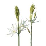 在白色背景隔绝的伯利恒花或万年青ponticum星 免版税图库摄影
